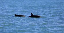 Experts urge gulf refuge for endangered vaquita porpoise