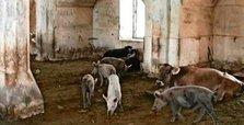 Armenians convert 'Aghdam Mosque' into pigsty in Karabakh