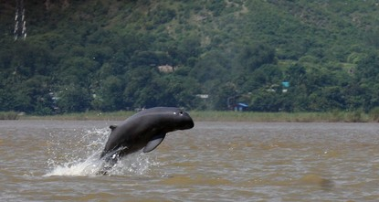 Tears fill Maung Lay's eyes as he describes losing the dolphin he knew since his childhood, the latest casualty of a battle against pollution and electrofishing that may see the species disappear...