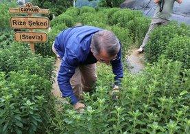 Rize Şekeri Stevia'nın ilk hasadı yapıldı