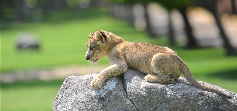 SUDANS GIFT OF 4 LION CUBS ARRIVE IN SE TURKEY