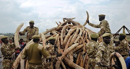 pThe number of African elephants in their home continent has dropped by more than a fifth in the past decade due to a surge in ivory poaching, the International Union for Conservation of Nature...