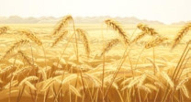 Buğdayın Yolculuğu: Göbeklitepe'de yaşayanlar ekmeği ilk tadan insanlardı