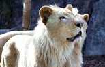 Rare white lions make first appearance in Turkish park