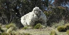 Chris, sheep famed for heaviest fleece, dies