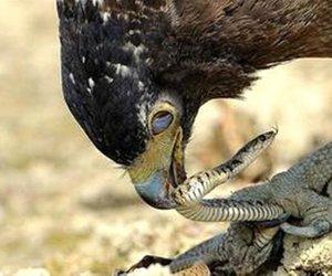 Yemek istediği yılan kartalın sonu oluyordu