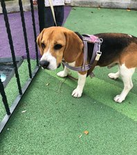 beagle bulundu ümraniye
