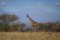 Giraffe numbers have declined by as much as 40 percent since the 1980s in a