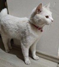 Beyaz kedi bulundu Antalya
