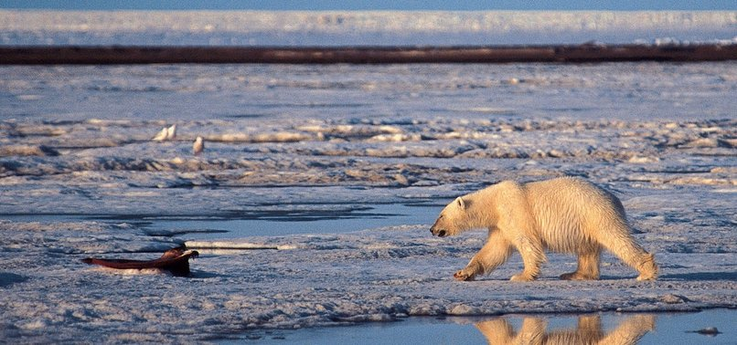CANNIBALISM ON RISE AMONG POLAR BEARS, SAY RUSSIAN SCIENTISTS