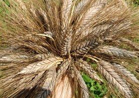 Kültepe'de bulunan 7 bin yıllık buğday Marmaris'te umut oldu