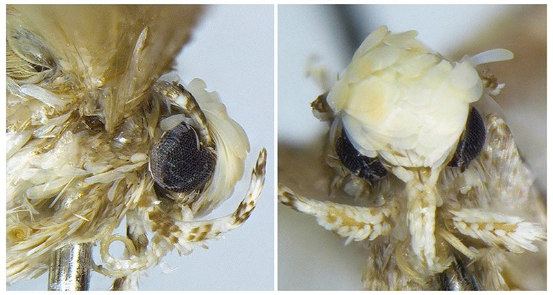 A small moth with a yellowish-white coif of scales, dubbed Neopalpa donaldtrumpi is seen in an undated combination photo provided by evolutionary biologist Vazrick Nazari. (Reuters Photo)