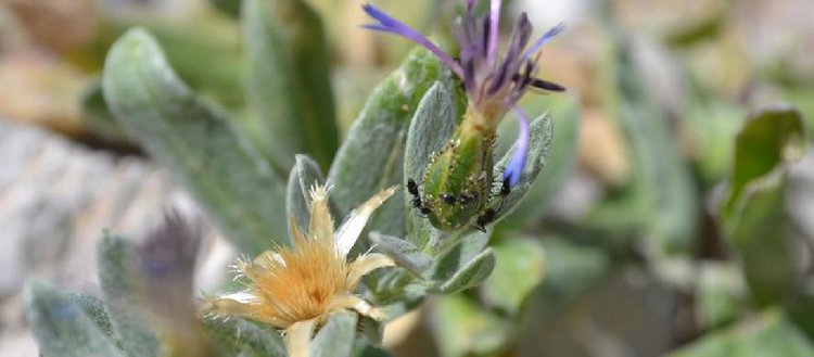 'Peygamber çiçeği'nin yeni bir türü daha bulundu