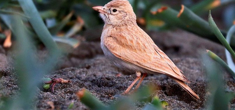 RARE BIRD SPECIES CALLED BAR-TAILED LARK SPOTTED IN TURKEY FOR 1ST TIME