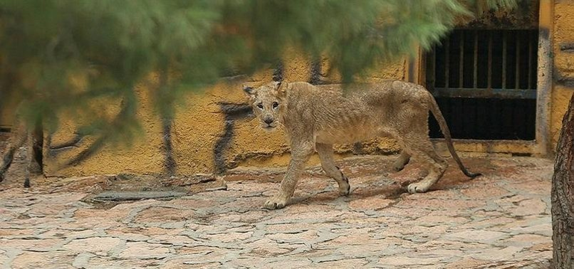 4 LION CUBS GIFTED TO TURKEY BY SUDAN MEET ZOO VISITORS