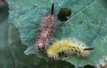 Turkey combats caterpillars feeding on beech in west