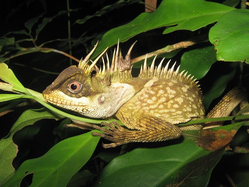 This handout from the WWF taken on September 15, 2014 and released on December 19, 2016 shows a new species of lizard called acanthosaura phuketensis in Phuket. (AFP Photo)