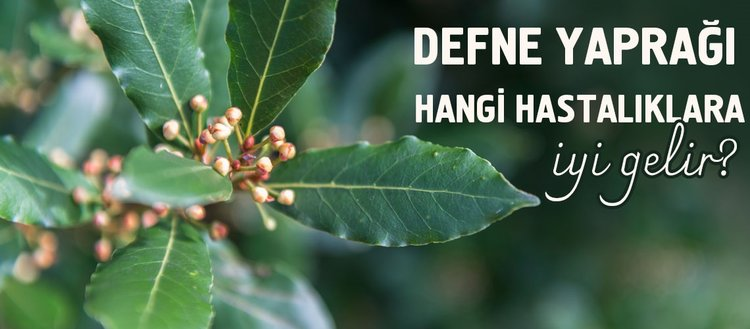 Defne yaprağı nasıl kullanılır? Defne yaprağını yakmanın faydaları neler? Defne yaprağı nelere iyi gelir