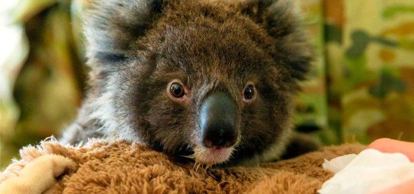 AUSTRALIA HAS LOST ONE-THIRD OF ITS KOALAS IN PAST THREE YEARS - AKF