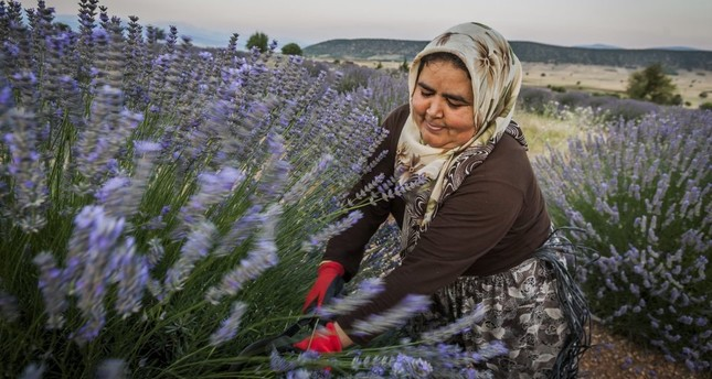 A local woman working in a lavender field in Isparta.