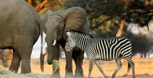 Zimbabwe plans mass migration of wildlife over drought