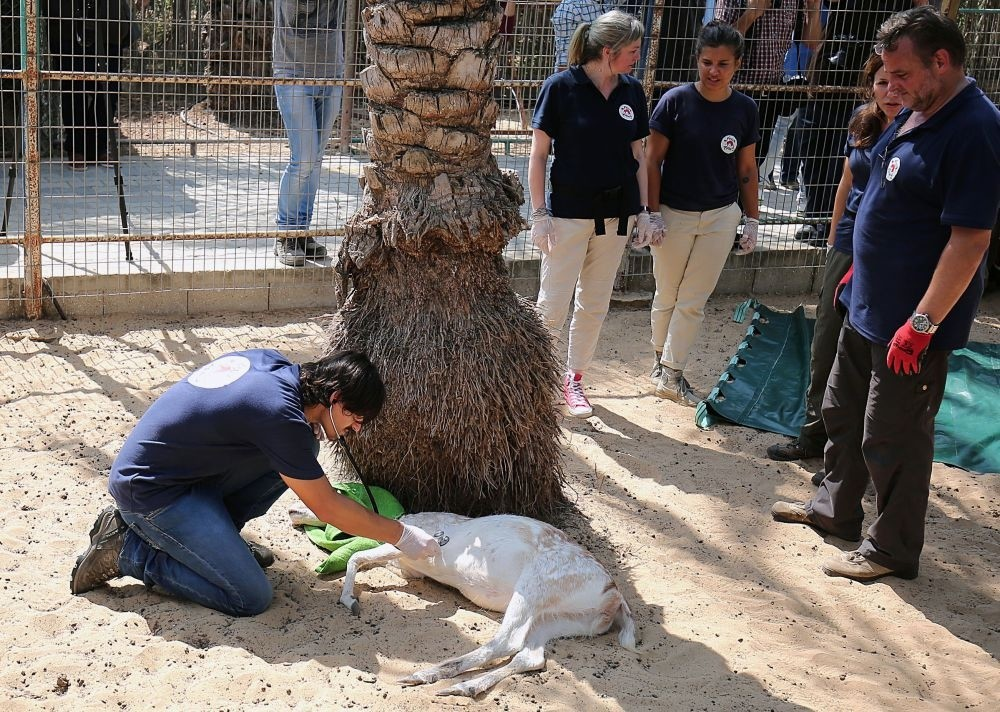 A member of animal welfare charity ,Four Paws, checks a sedated deer at the zoo.