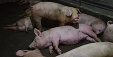 China study warns of possible new 'pandemic virus' from pigs