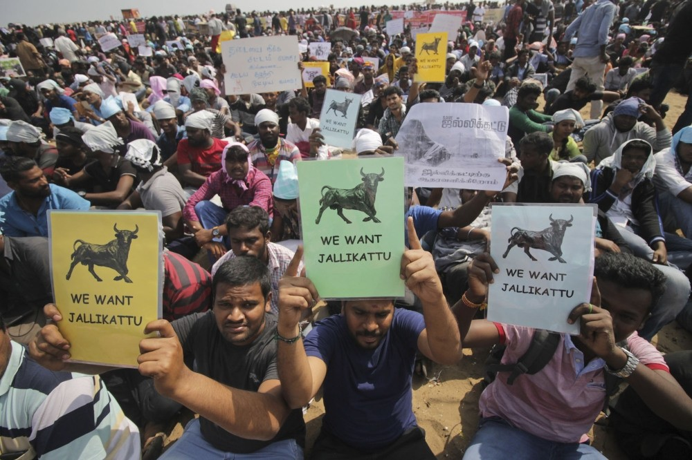 Protestors hold placards demanding Jallikattu, a traditional bull-taming sport banned by Indiau2019s top court, be allowed to resume unhindered as thousands gather at the Marina beach in Chennai, India.