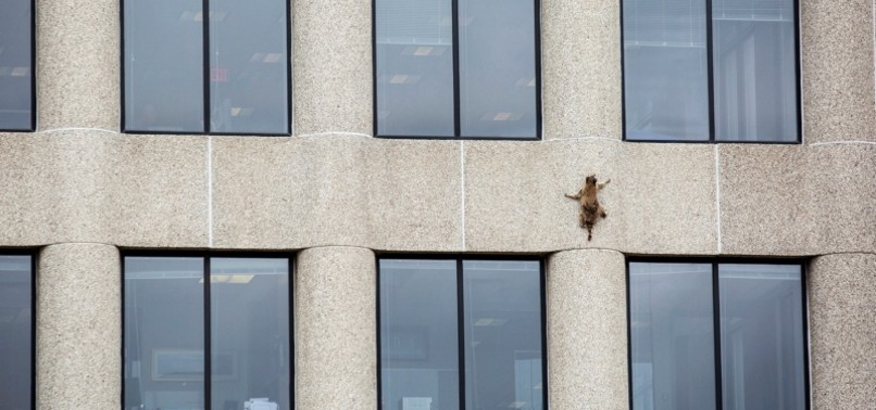 DAREDEVIL RACCOON SET FREE AFTER SCALING 25-STORY UBS TOWER IN MINNESOTA