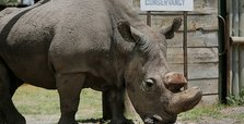 World's last male northern white rhino dies aged 45