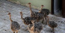 6 ostrich chicks hatch at Bursa Zoo in NW Turkey