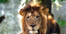 Female lion kills longtime partner at Indianapolis zoo