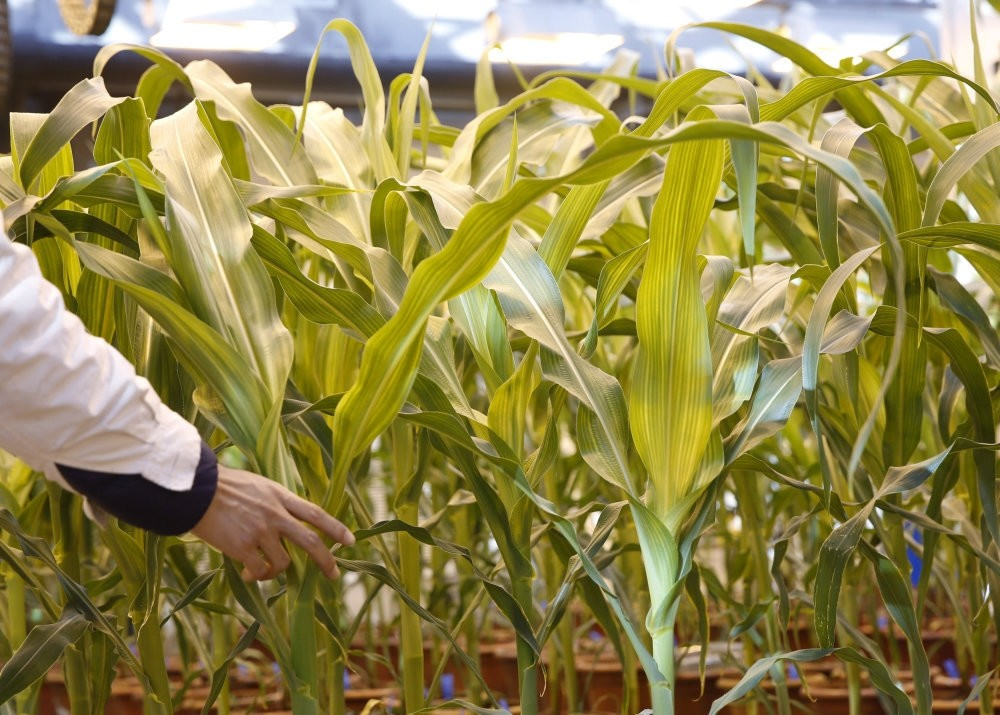 A researcher checks on corn plants in a green house in Syngenta Biotech Center in Beijing.