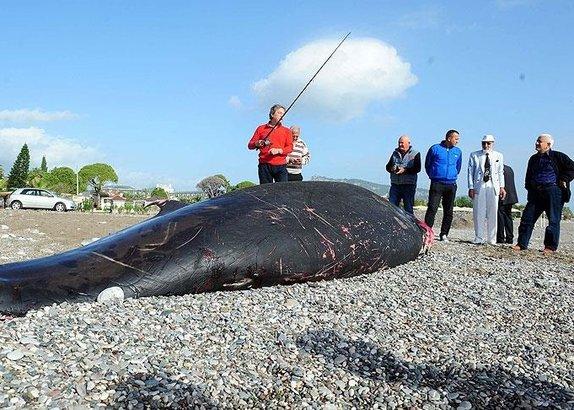 Antalya'da balina kıyıya vurdu