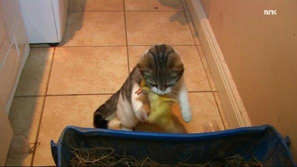 Doğum Yapan Anne Kedi Yumurtadan Yeni Çıkan Ördekleri Evlat Edindi....