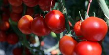 Turkish tomato exporter using hot springs to lead world