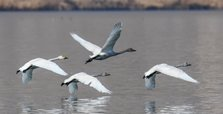 Turkey's Lake Van basin hosts Siberian whooper swans