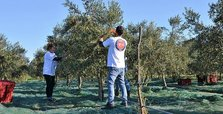 Turkish agency supports olive production in Montenegro