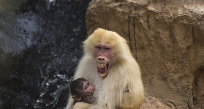 pBaboon grunts and mating calls may hold secrets about human speech, according to a new study suggesting that the origins of human language could reach back as much as 25 million years./p