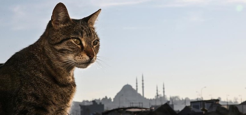 FREE-SPIRITED CATS OF ISTANBUL CONQUER HEARTS AND CITY