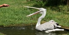 Rescued pelican enjoys living at Albanian wetlands park