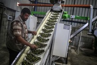 Olive branch to Israel, olive oil for Palestinians from Turkey