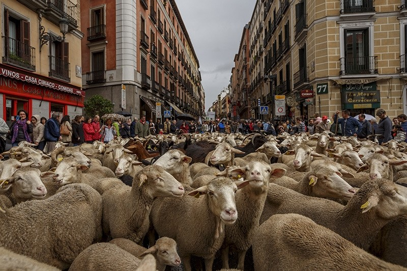 Shepherds lead their sheep through the center of in Madrid, Oct. 23, 2016. (AP Photo)