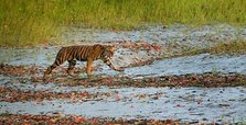 Over 2,300 tigers captured in last 19 years