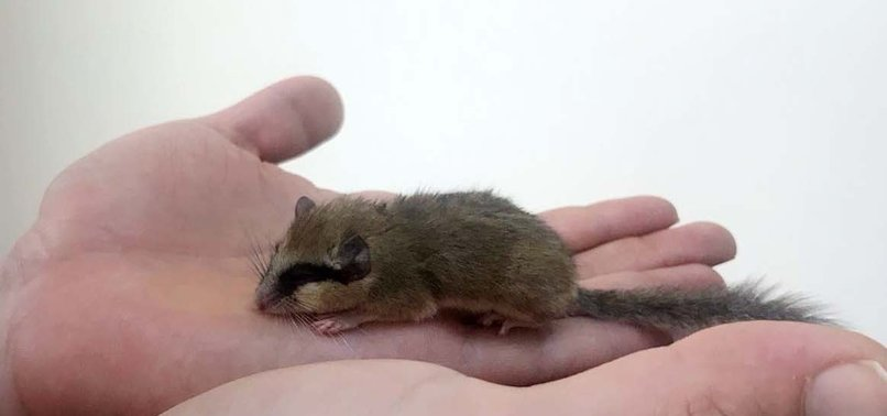 FOREST DORMOUSE SPOTTED FOR FIRST TIME IN CENTRAL TURKEY'S ÇORUM