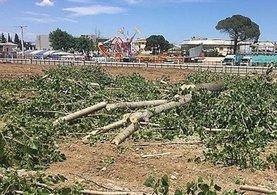 Biga'nın CHP'li belediyesinden ağaç katliamı!
