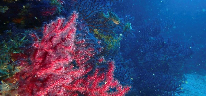 RED CORALS, EDREMITS HIDDEN TREASURES, TO BE PROTECTED