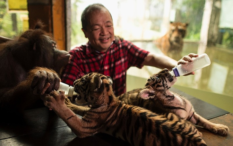 Zoo owner Manny Tangco feeds two tiger cubs named ,Tiger Duterte, and ,Tiger Leni,, after Philippine President Rodrigo Duterte and Vice President Leni Robredo, at the Malabon Zoo in Manila on July 14, 2016. (AFP Photo)