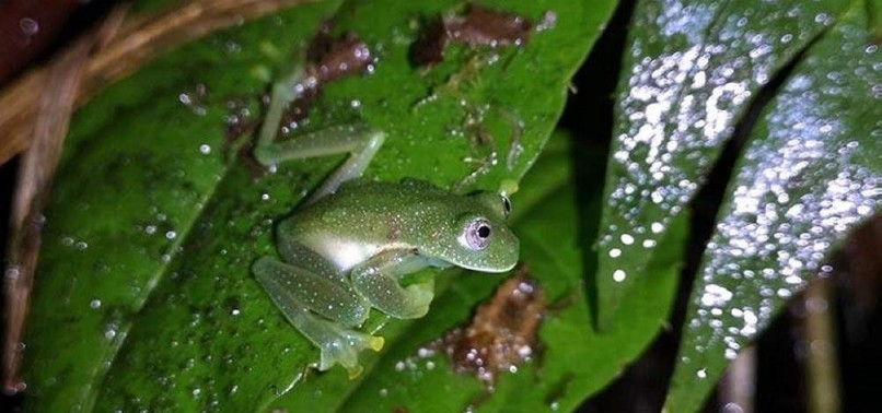 GLASS FROGS REAPPEAR IN BOLIVIA AFTER 18 YEARS