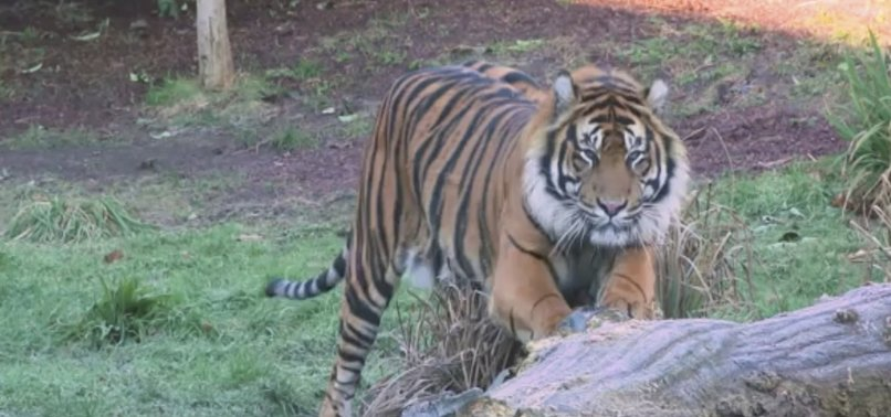 SUMATRAN TIGER KILLS PROSPECTIVE MATE JUST MINUTES AFTER MEETING AT LONDON ZOO